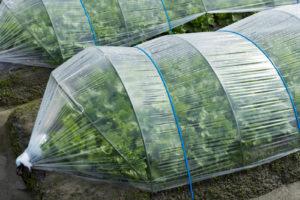 無シェア畑で農薬野菜を育てています